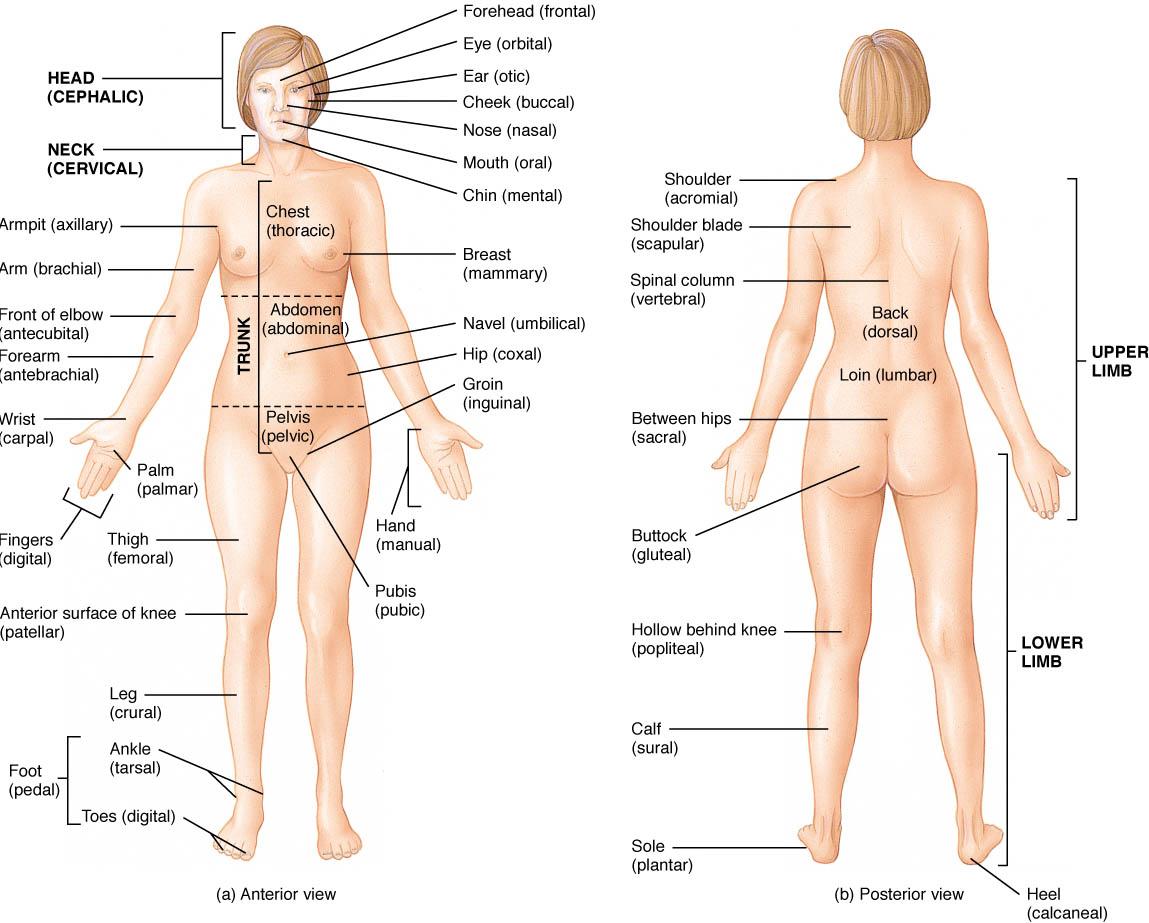 Anatomy hijra body Hijra (South